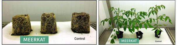 Ensayo de tomate en fitotrón con MEERKTAT® VS Control