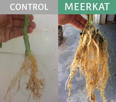 Ensayo en pimiento con MEERKAT VS Control