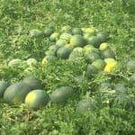 Trichodex incrementa en un 27% el rendimiento del cultivo de sandía gracias a los formulados Molyblue, BS-95 y Citomastic