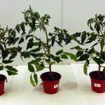 Los formulados de Trichodex, BACNIFOS, FINDER Y BIOSTOP, frente al estrés hídrico de los cultivos