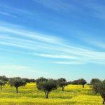 Mejora la producción y el rendimiento graso de tu olivar con CITOMASTIC y MOLYBLUE